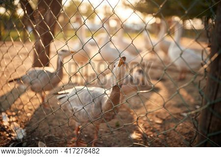 A goose staring through the fence in the coop on a beautiful sunny weather. Farm, countryside, summer