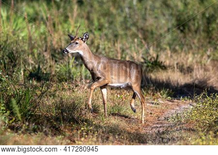 A One Horned White-tailed Deer In Florida.
