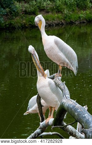 Pelicans On The Branch Near Water. Birds Cleaning Their Feathers