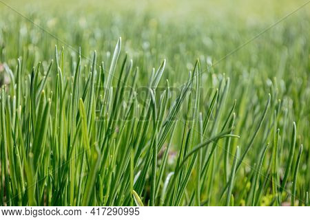 Vibrant Herbal Texture. Lots Of Fresh Sprouts. Close-up Of Fresh Green Juicy Grass. Nature Art Abstr