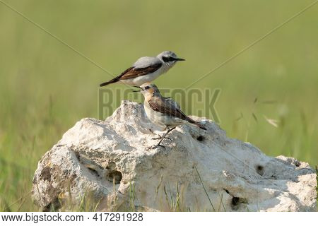 Northern Wheatear - Oenanthe Oenanthe Male And Female In The Rock.