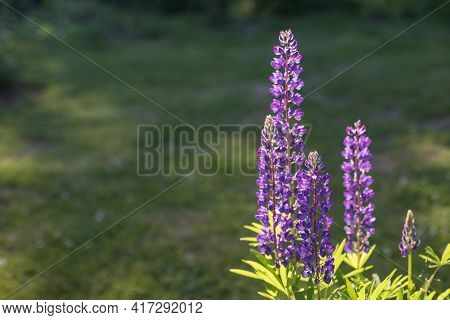 Lupine Flowers Different Colors On The Field. Selective Focus.blooming Blue Lupins In The Meadow.bri