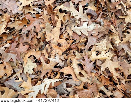 Dried Brown Oak Leaves On The Ground