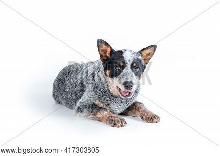 Cute Blue Heeler Or Australian Cattle Dog Puppy Lying Down Against White Background