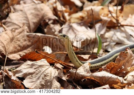 Garter Snake On Trail In Leaves In Forest