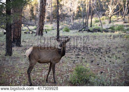 Deer Fawn, Bambi, Capreolus. White-tailed Young Roe. Beautiful Wildlife Buck.