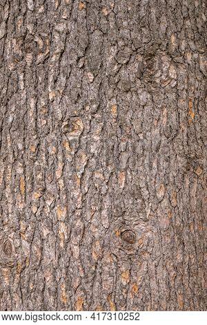 The Bark Of An Atlas Cedar, Cedrus Atlantica. Bark Texture And Background Of A Old Fir Tree Trunk. D