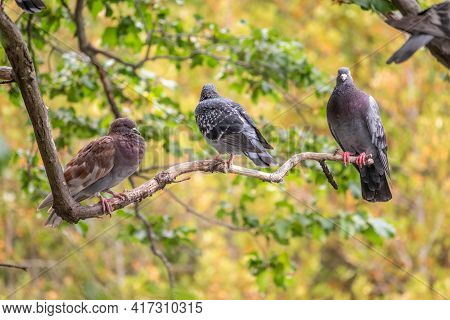 Three Pigeons Sitting On A Tree Branch On Green Background. Domestic Pigeon Bird And Green Blurred N