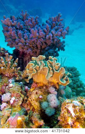 coral reef with great hard and soft corals at the bottom of red sea poster