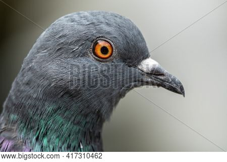The Fat Pigeon Portrait. Domestic Pigeon Bird And Blurred Natural Background. Grey Dove Bird.
