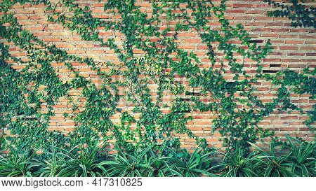 Green Vine, Ivy, Liana, Climber Or Creeper Plant Growth On Brick Wall With Tree In Vintage Tone. Bea