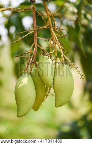 Raw Mango Hanging On Tree With Leaf Background In Summer Fruit Garden Orchard, Green Mango Tree