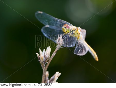 Sympetrum Vulgatum. Large Beautiful Dragonfly On A Dry Branch Green Background Close-up. Dragonfly S