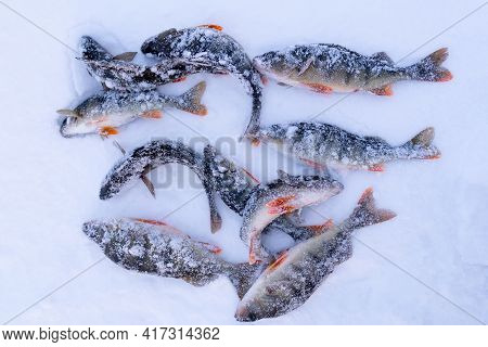 Catch Of Perch On Winter Fishing. Freshly Caught Trophy Snow Background.