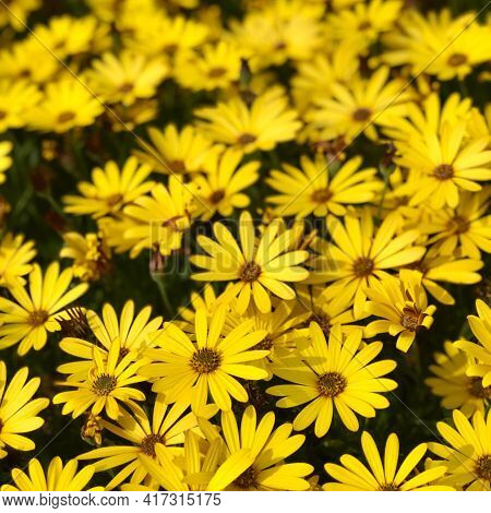 Cape Marguerites Yellow  Blossom Flower In Spring On A Field