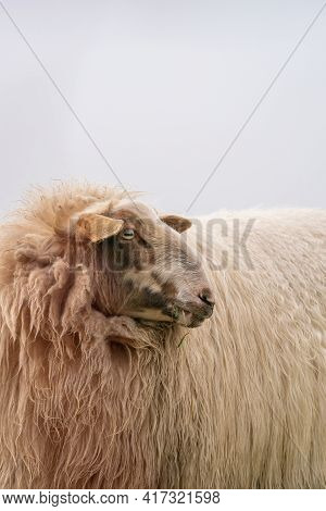 One Sheep In The Mist. The Sheep Looks Into The Camera, Detail Shot Of The Head. Sheep Stands In The
