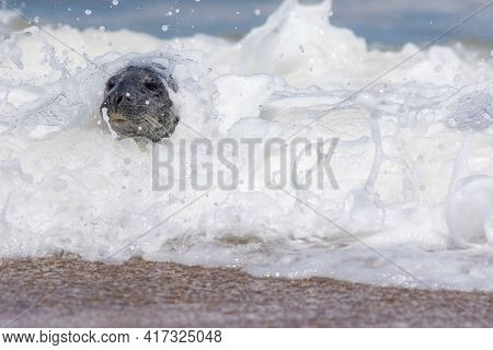Marine Mammal. Nature And The Environment. Seal In Frothy White Surf. Cold Climate Animal Wrapped Up