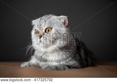 So Cute Of Scottish Fold Cat.