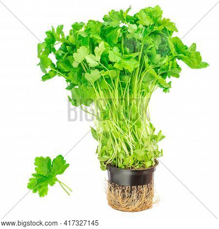 Fresh Parsley  Isolated On White Background. Bush Of Parsley Herb Growing In A Flower Pot, Organic F