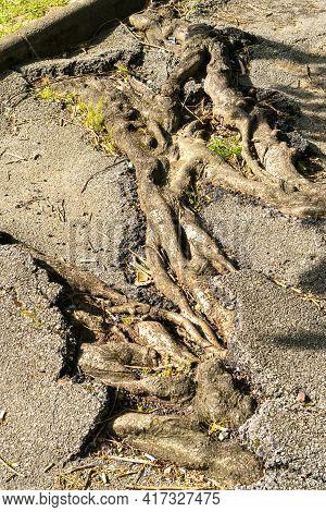Broken Sprouted Tree Roots Asphalt Road