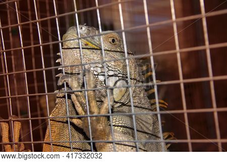 Wild Iguana In A Cage. Animal Protection.