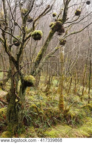 Birds Nests, Bird Nest, Long-tailed Tit (aegithalos Caudatus) In A Tree In Gwydyr Forest, Wales, Uk