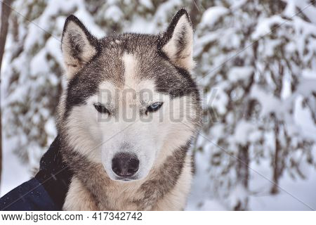 Portrait Of A Husky In A Snowy Forest