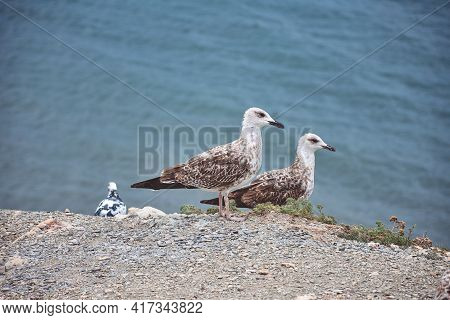 Seagulls Standing By The Sea On A Cliff