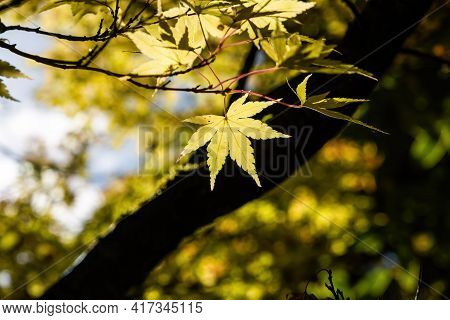 Yellow Leaf In Bright Sunlight On Blurred Background - Autumn Theme