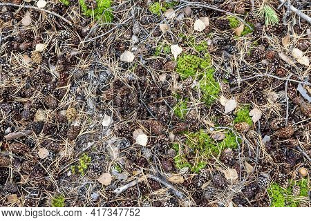 Botany, Ecology, Decorative, Wilderness, Fall, Leaves, Fir, Evergreen, Needles, Leaf, Holiday, Seaso