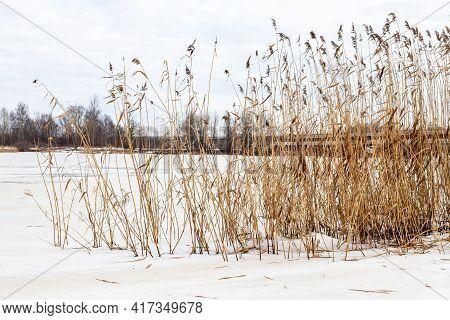 Reeds At Winter Near Frozen River. Dry Yellow Reeds (phragmites Australis) At Grey Sunless Winter Da