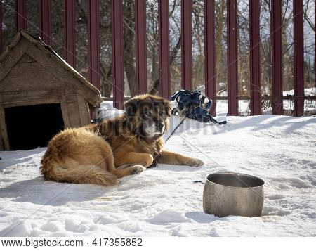 The Yard Dog Lies In Winter On The Ground Covered With Snow. The Dog Is Tied With A Chain, A Doghous