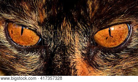 Amber Eyes Of Spotted Cat Close Up