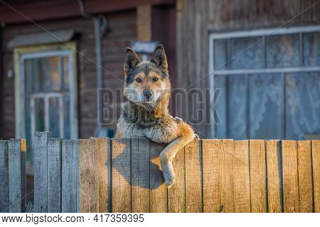 Yard Dog Looks From Behind The Wooden Fence Of The Village House