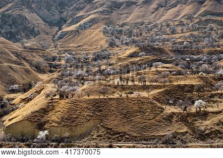 Russia. Dagestan. Blooming Apricot Orchards On The Slopes Of The Steep Mountains Of The North-easter