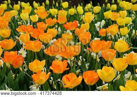 Beautiful Darwin Hybrid Tulip 'daydream' Flowers At Full Bloom