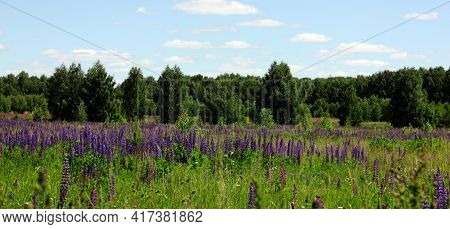 Lupin Spreads Flowers. Lupin Field. Colorful Bouquet Of Lupins On Summer Flower Background. Blossomi