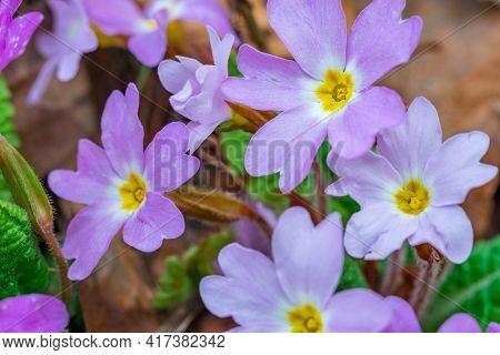 Wild Growning Violet Plant Flower, Viola Odorata, Sweet Violet. Flora