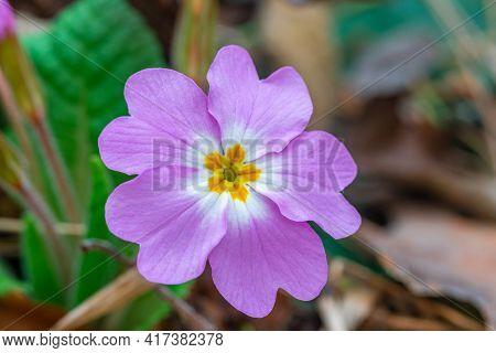 Wild Growning Violet Plant Flower, Viola Odorata, Sweet Violet