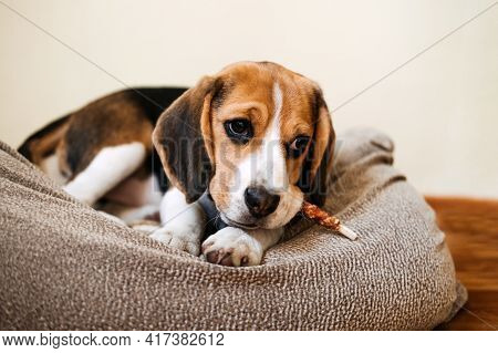 Dog Snack Chewing Sticks For Puppies. Beagle Puppy Eating Dog Snack Chewing Sticks At Home. Beagle E