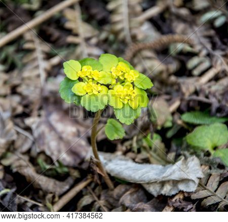 Chrysosplenium Alternifolium Blooms In The Wild In Spring
