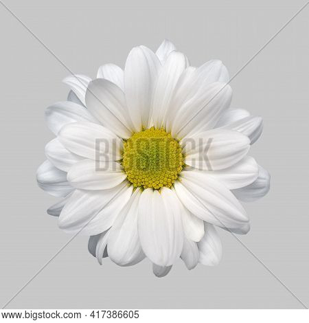 Isolated Flower White Aster Chrysanthemum Gerbera Daisy On Grey Background Close-up High Quality. Ma