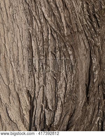 The Bark The Monterey Cypress, Hesperocyparis Macrocarpa, Botanical Background Or Texture This Conif