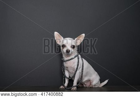 A Small Chihuahua Dog Demonstrates A Black Pearl Necklace While Standing In Front Of A Black Backgro