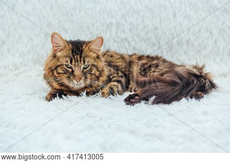 Long-haired Charcoal Bengal Kitty Cat Laying On The White Fury Blanket
