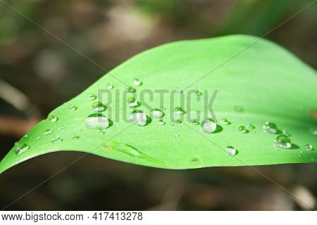 Macro Shot Of Drops On The Leaves Of Lilies Of The Valley Close-up Macro On The Sun In The Forest