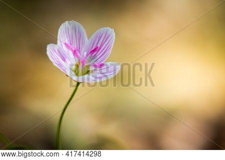 Virginia Spring Beauty (claytonia Virginica) In Bloom In Early Spring. Plenty Of Copy Space. Raleigh
