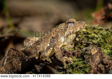 Profile View Of A Northern Cricket Frog (acris Crepitans). Raleigh, North Carolina.