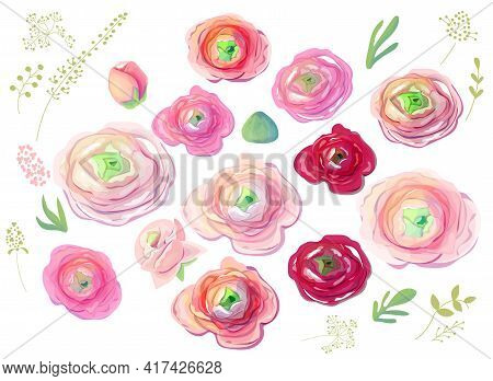 Different Detailed Pink And Red Ranunculus On White Background. Elegant Flowers For Wedding. Illustr