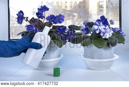 Fertilizing Home Plants. Violets Potted Flowers And Hand With Fertilizer In Bottle. Housework And Pl